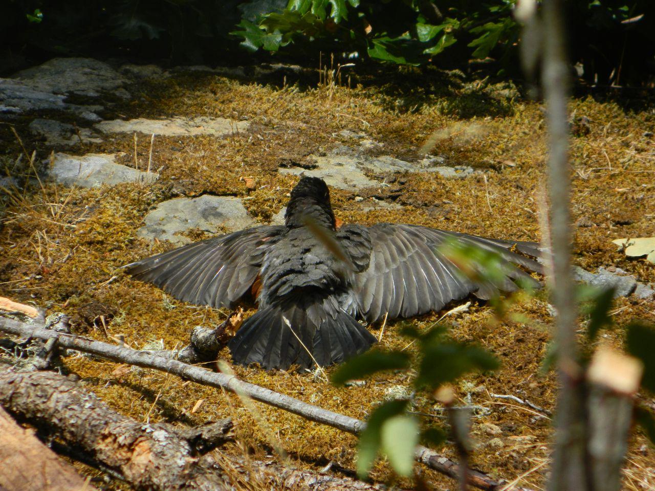 robin spread sunning