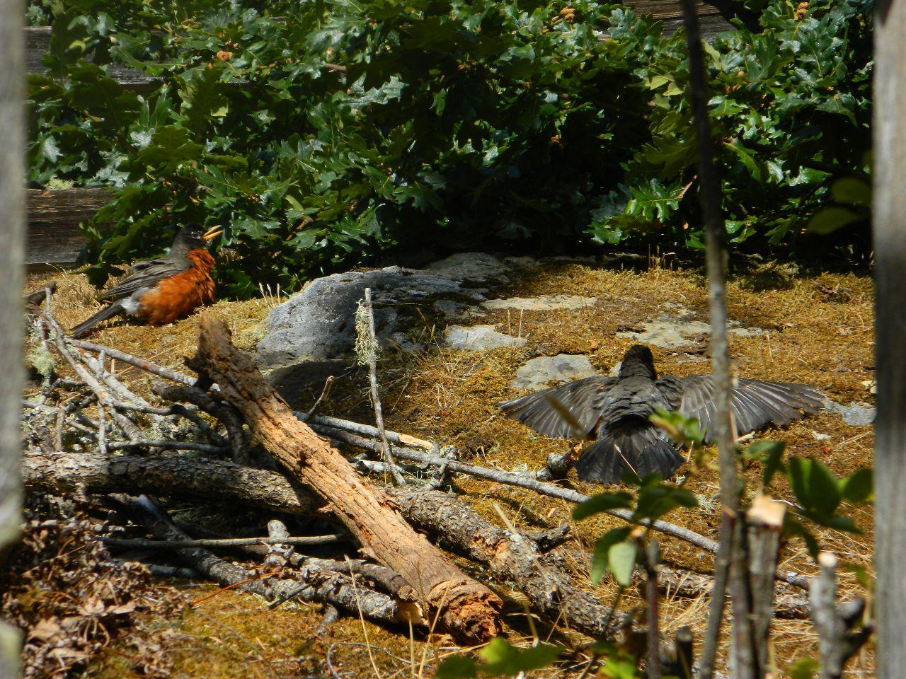 robins sunning