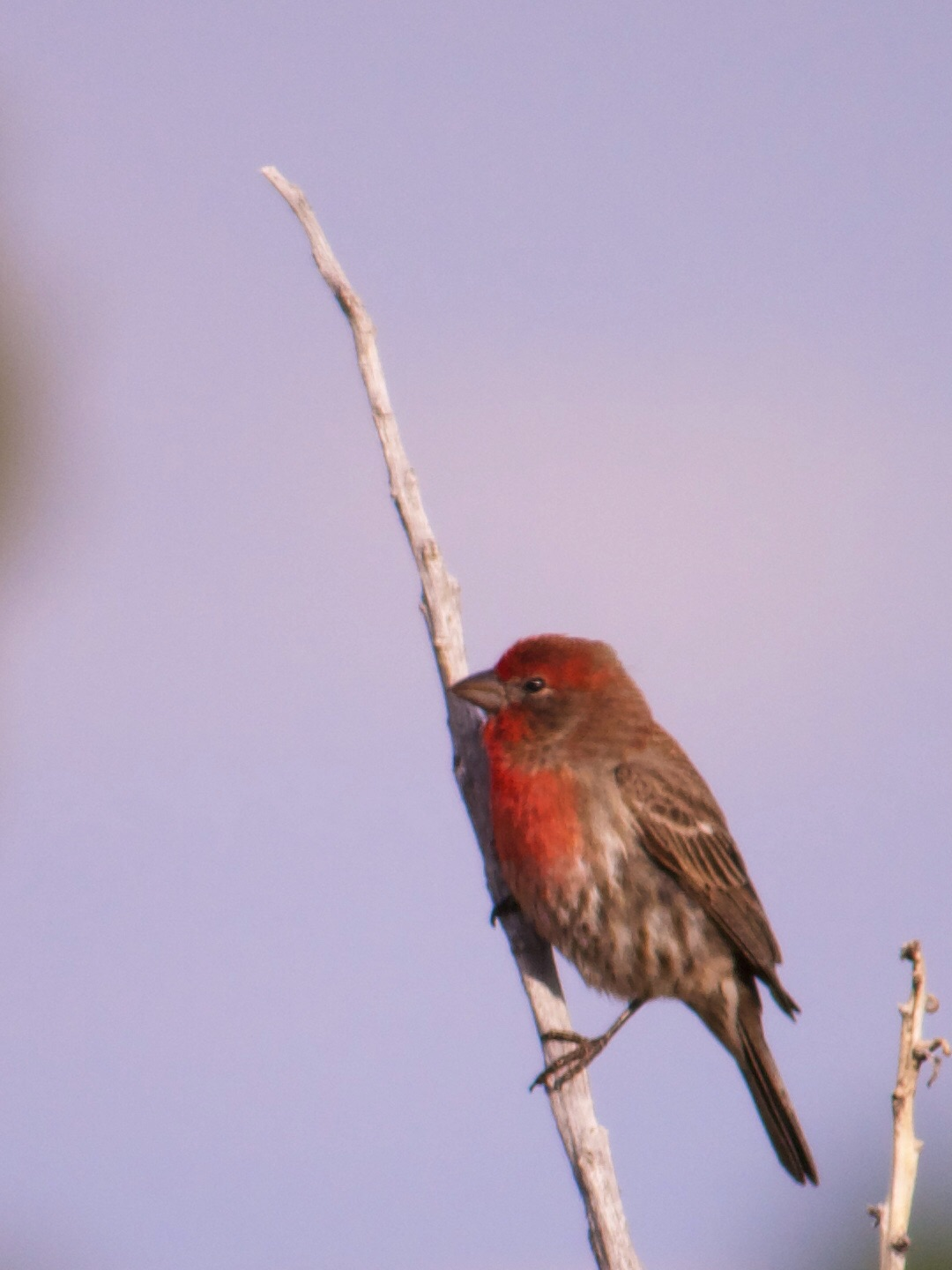 House finch, perched on a yucca stalk