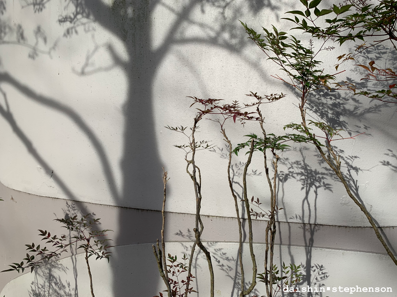 tree shadow on wall, sparse leafed branches