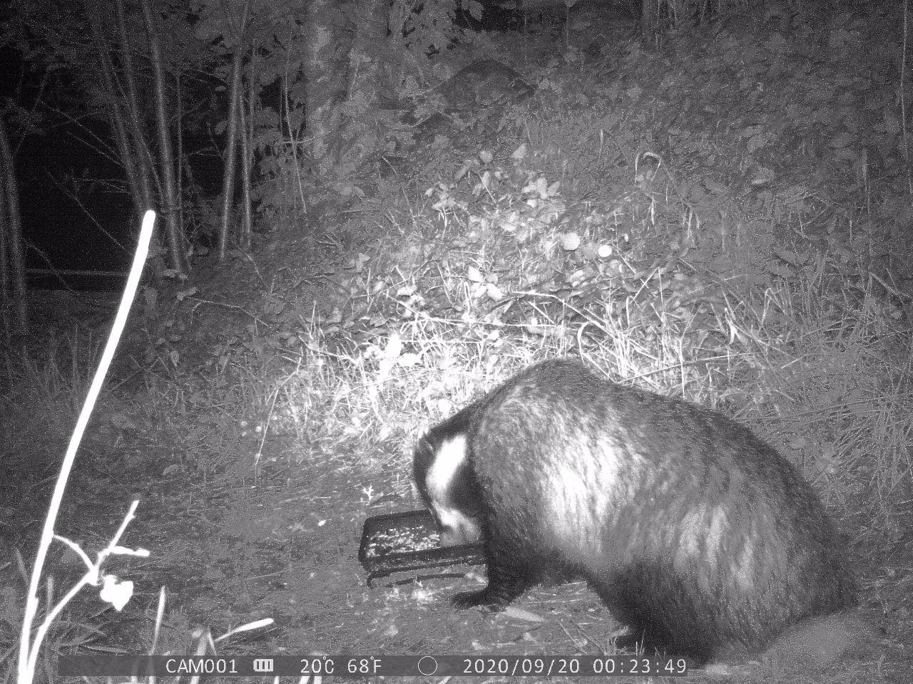 Badger sat down eating some bird seed