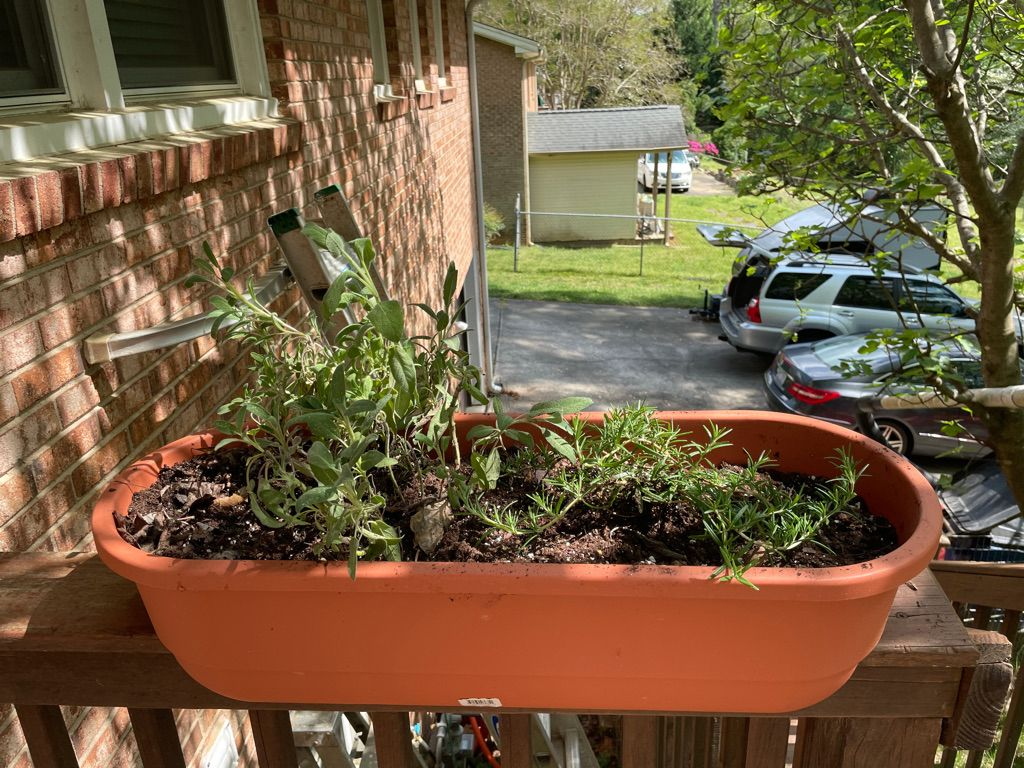 Garden sage and creeping rosemary in a railing planter.