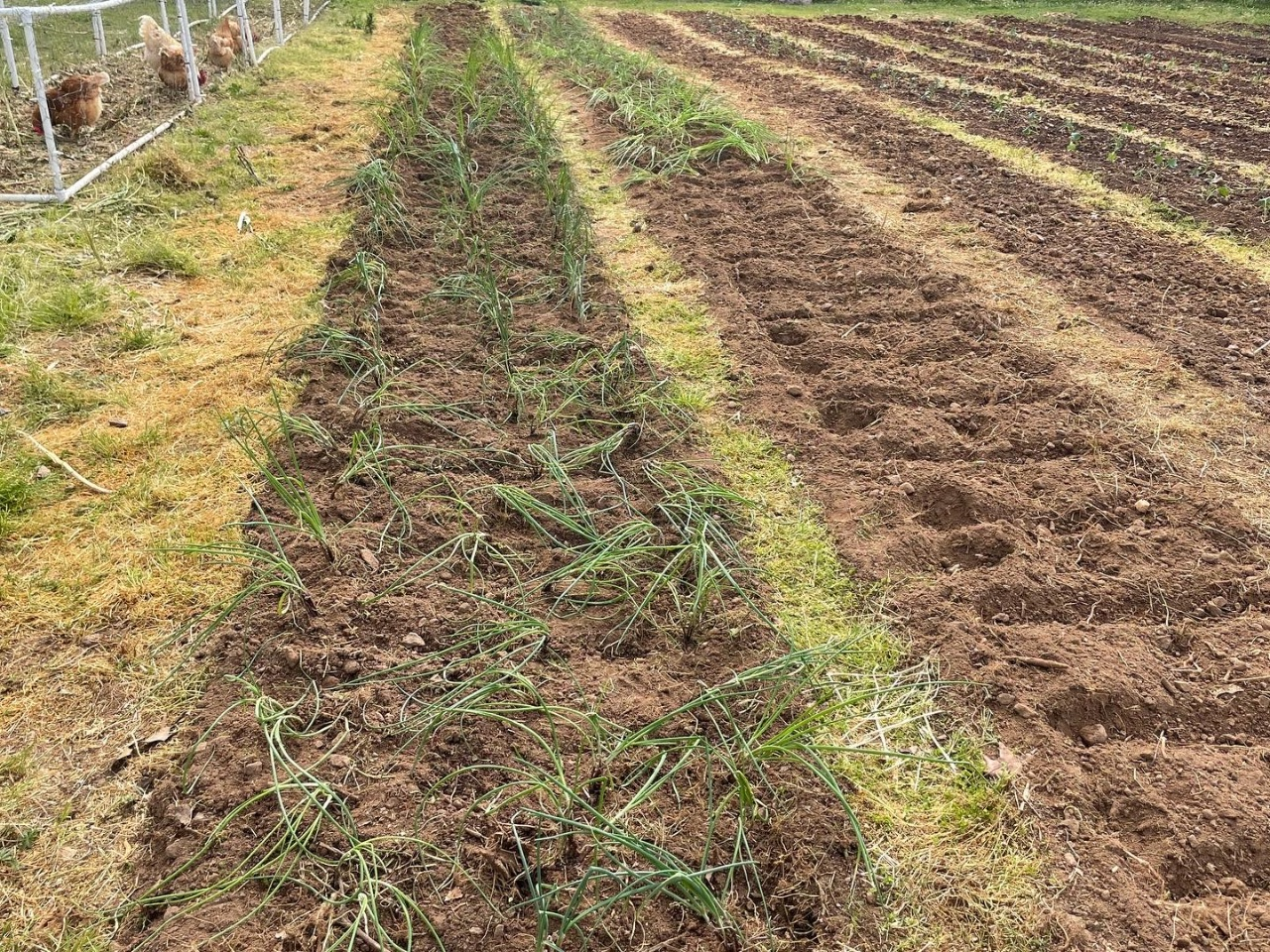 Rows of young onion plants.