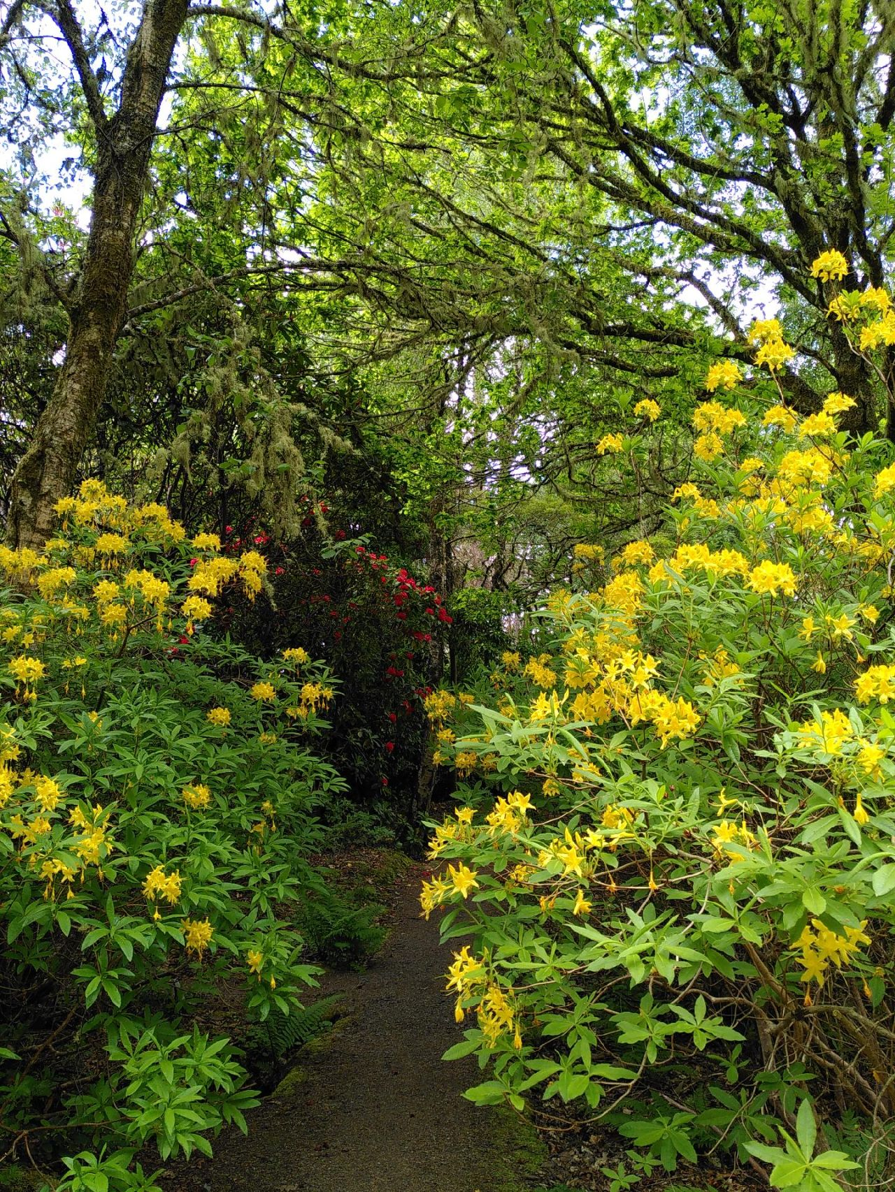 Yellow flowered rhody, these smelled similar to marijuana. Bright flowers cluster at the end of the rhody branches, forming a gate along the path. Further along the path is another rhody with vibrant red flowers. The background and canopy is filled with trees and foliage giving a jungle feel.