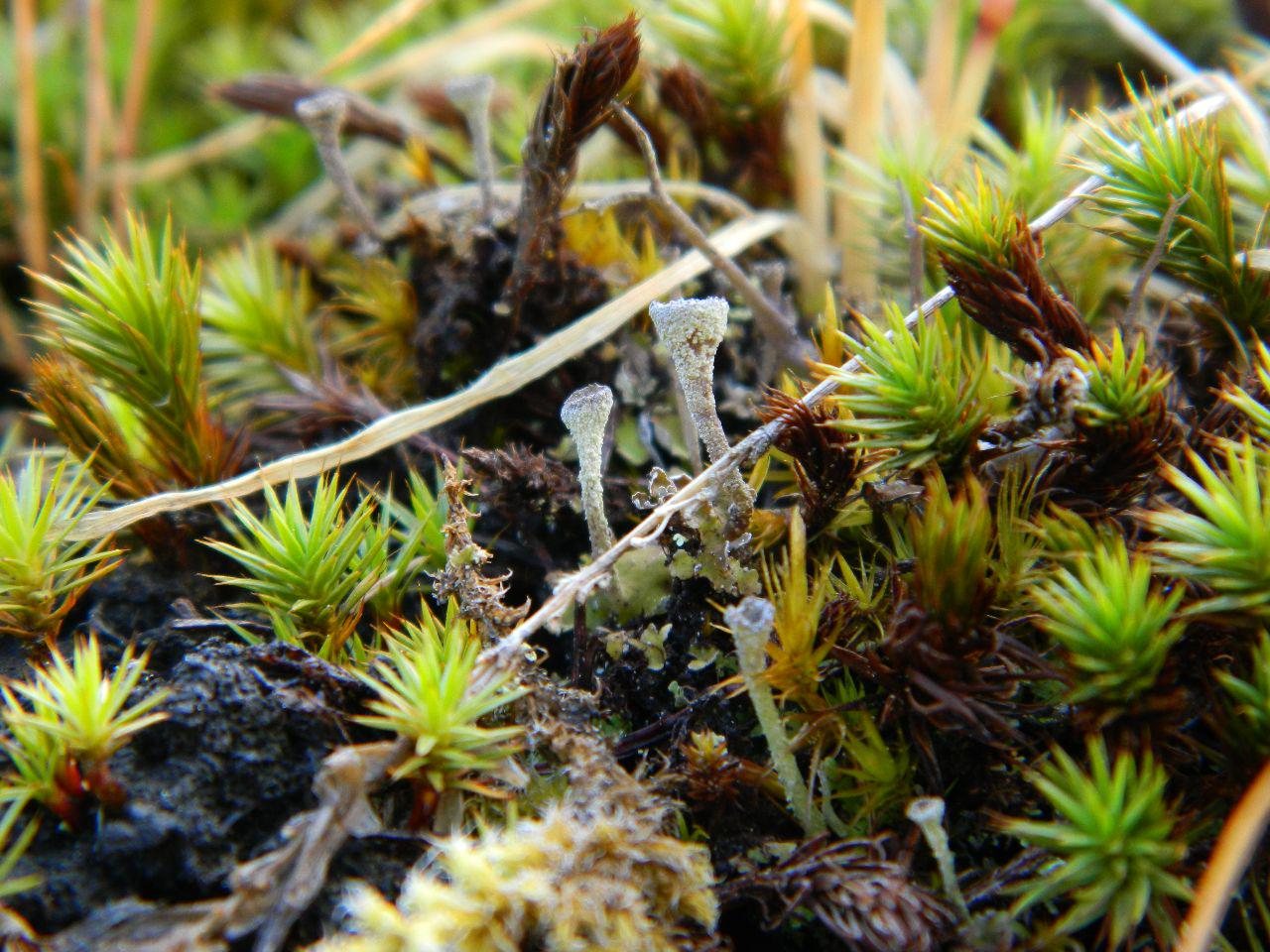 pixie cups moss
